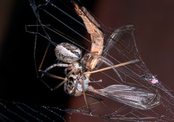 Crane fly or daddy long legs caught in spider's web.