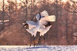 crane in winer turui hokkaido