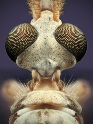 Cranefly Lateral