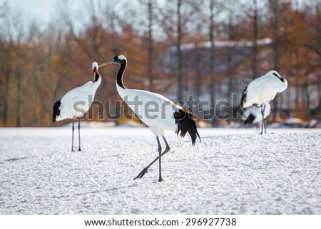 Cranes bird in kushiro japan