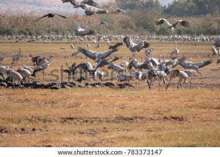Cranes birds flying and resting at Hula lake at the winter season. I got a close up tour to see them from a close distance in a beautiful day with blue sky and white clouds. #783373147