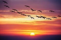 cranes flight on sunset background