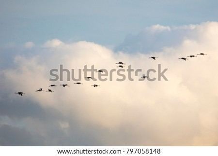 Cranes flying at the cloudy sky, Mecklenburg-Western Pomerania, Germany, Europe #797058148