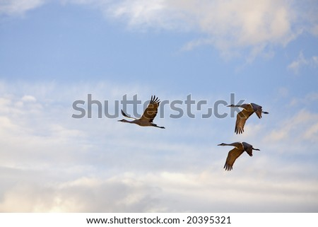 Cranes in flight at the bosque del apache national wildlife refuge