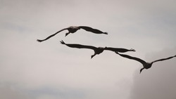Cranes passing the roost at sunset in Spain. Ornithology and birdwatching
