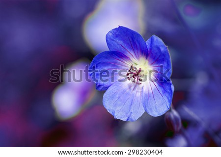 cranesbill flower (Geranium) close up shot against a blurred purple blue background with copy space