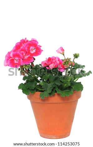 Cranesbills are often used flowers for the balcony - stock photo