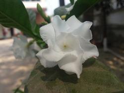 Crape jasmine Tabernaemontana divaricata pinwheel flower,closeup Snapshots Photos Beautiful White Flowers