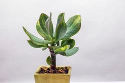 Crassula Arborescense (Blue Hale mediovariegated)