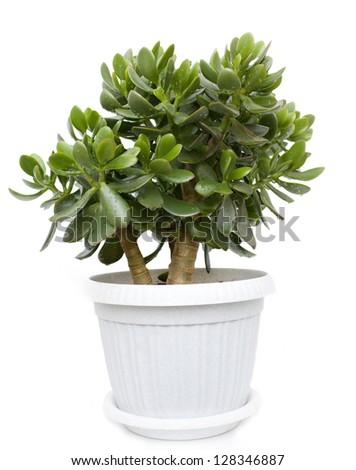 Crassula or dollar tree