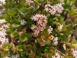 Crassula ovata, commonly known asjade plant,lucky plant,money plantormoney tree, is asucculent plantwith small pink or white flowers