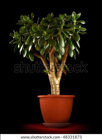 money plant tree. Jade Plant - Money Tree in