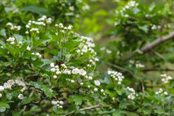 Crataegus Monogyna hawthorn white flowers blooming in spring