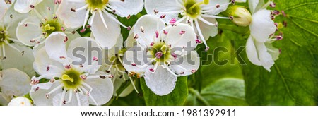 Crataegus monogyna white blooms. Single-seeded hawthorn bloom ( may, mayblossom, maythorn, quickthorn, whitethorn, motherdie, haw )White hawthorn flowers in spring garden, close up, macro.  Stock photo ©
