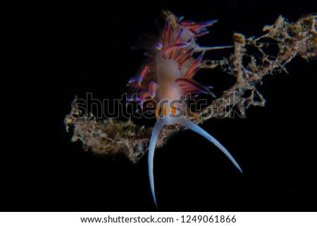 Cratena peregrina nudibranch #1249061866