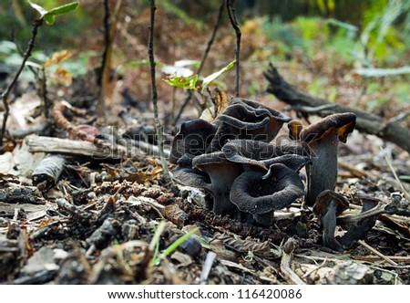 Craterellus cornucopioides -  edible mushroom, aka Trumpet of the dead, Black chanterelle, Black trumpet, or Horn of plenty