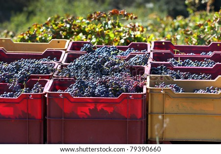 Crates of hand-picked grapes in a vineyard in the Priorat wine region of Catalonia, Spain