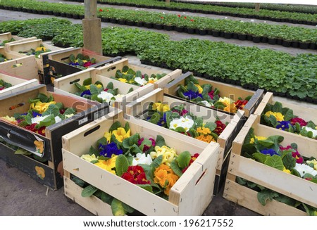 crates with primula flowers in a greenhouse ready for sale