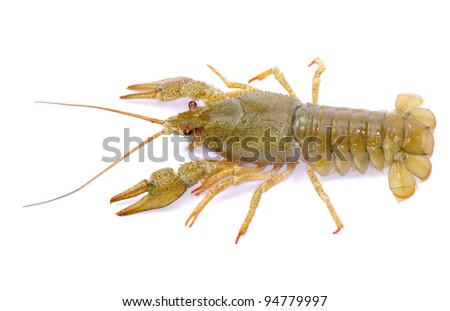 crawfish on a white background