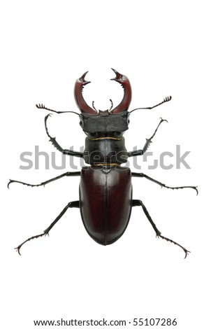 Crawling  male stag beetle (Lucanus cervus)   isolated on the white background. View from above