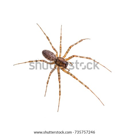 Crawling Spider Arachnid Insect Isolated on White