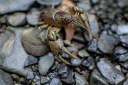 Crayfish claw