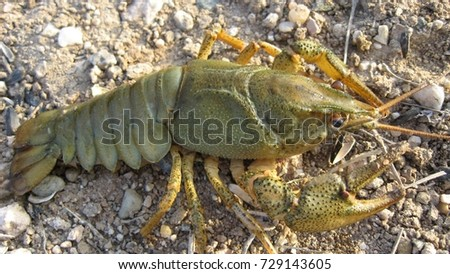 Crayfish has a solid chitin cover, serving mostly as an external skeleton.