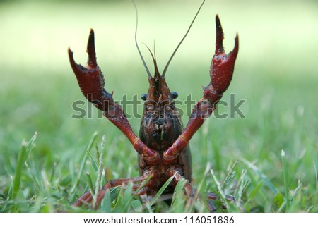 Crayfish in a meadow