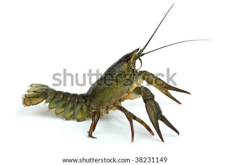 Crayfish in defensive position isolated on the white background
