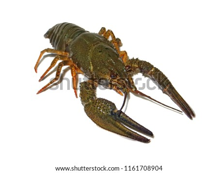 Crayfish live isolated on clean white background photo, river food, view 1