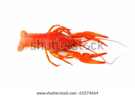 crayfish on white