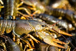 Crayfishs live, river food. Living crayfish in water. Caught crayfishs. Cancers on the background of crayfish. Large lobster. One large river crayfish. Huge Lobster.