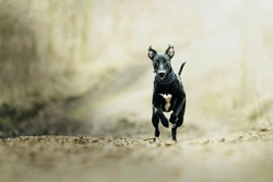 crazy and fun young beautiful whippet dog puppy running jump and flying