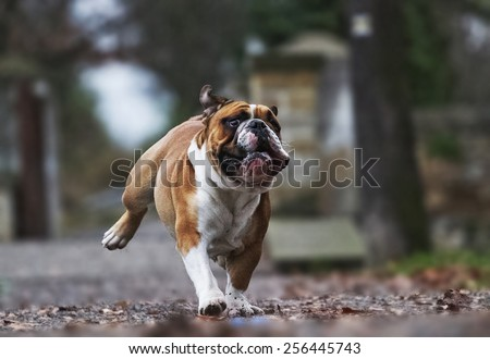 crazy english bulldog puppy running