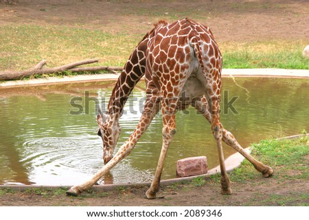 Crazy Legs - A giraffe drinking water.