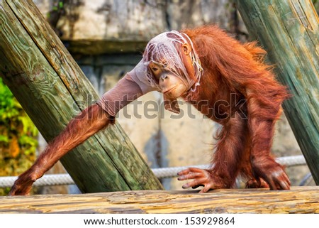 Crazy Orangutan -ripped up t-shirt on his head and arm