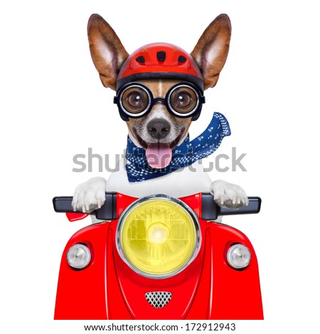 crazy silly motorbike dog with helmet and sticking out the tongue