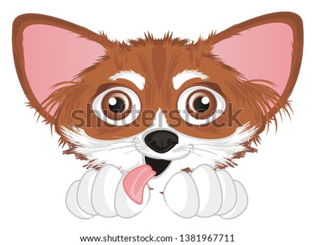 crazy snout of chihuahua with tonguw