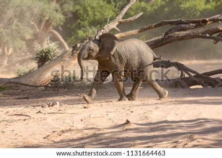 Crazy young Elephant in the dry Huab River, Damaraland, Namibia Stock fotó ©