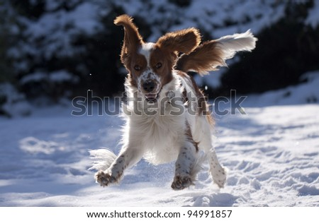 Crazy young springing welsh springer spaniel