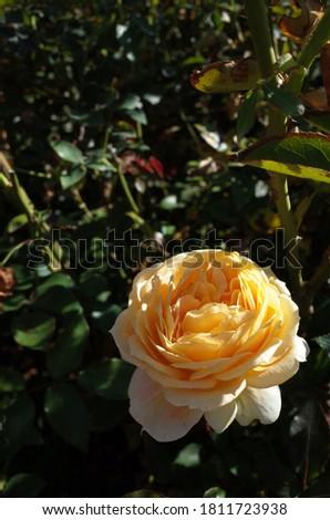 Cream and Pink Flower of Rose 'Caramel Antike' in Full Bloom  Stock fotó ©