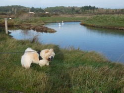 Cream chow-chow dog and swans