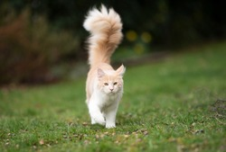 cream colored beige white maine coon cat with large fluffy tail walking on grass looking at camera