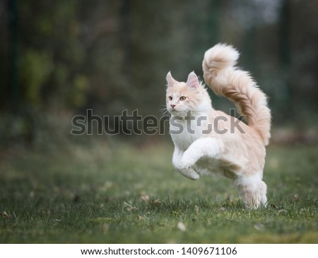cream colored beige white maine coon kitten with extremely long fluffy tail jumping over the lawn in  the back yard #1409671106