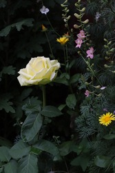 Cream-colored rose among green leaves in a flower bed