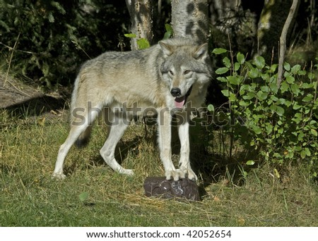 Cream colored wolf (canis lupus) stands near aspen trees (Populus tremuloides)  wth front feet on rock.  The large front paws and claws are clearly visible.