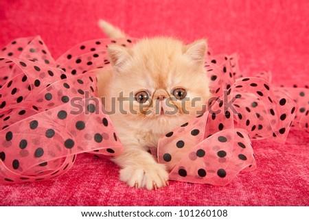 Cream Exotic kitten playing in pink black dot ribbon on cerise pink background