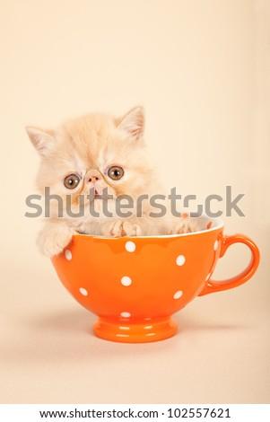 Cream Exotic kitten sitting in large orange cup on beige background