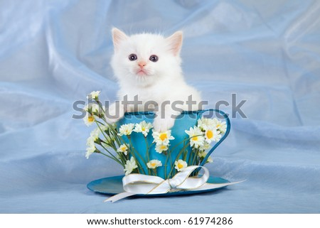Cream Ragdoll kitten sitting inside large blue cup with white daisie flowers on blue background