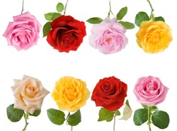 Cream, red, yellow and pink rose flowers set isolated on white background
